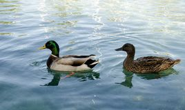 Wild duck swimming on pond. Royalty Free Stock Photography