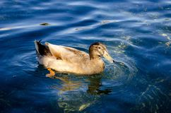 Wild duck swimming on pond. The Mallard or Wild Duck Anas platyrhynchos is a dabbling colored duck which breeds throughout the temperate and subtropical Royalty Free Stock Photography