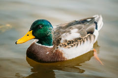 Wild duck swimming in river Stock Image
