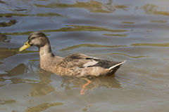 Wild duck swimming. In water Stock Photos