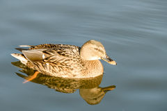 Wild duck. Stock Images