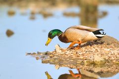 Wild duck swimming in water. Wild duck swimming in nature water lake Stock Photography