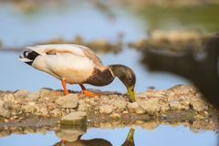 Wild duck swimming in water. Wild duck swimming in nature water lake Stock Image