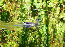 Wild duck swimming in the water. Photo of a wild duck swimming in the water Stock Image