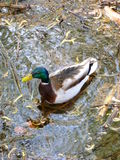 Wild duck swimming on water. Photo of a wild duck swimming on water Royalty Free Stock Photo
