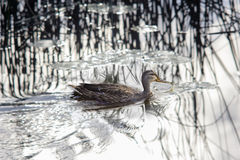 Wild duck swimming in a water Royalty Free Stock Photo