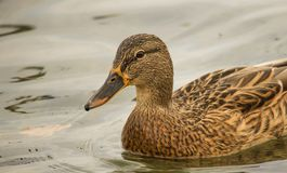 A wild duck swims in a close-up lake. Hunting for wild ducks in autumn Stock Photography