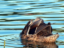 Wild duck swims in the lake. Close-up Royalty Free Stock Photography