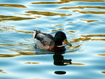 Wild duck swims in the lake Stock Photography