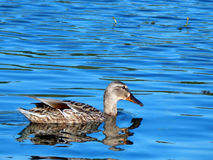Wild duck swims in the lake. Close-up Royalty Free Stock Image