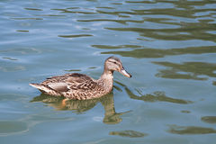 Wild duck Stock Photography