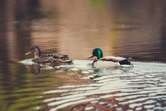 Wild duck swims in the lake. Wild duck swims in the lake Royalty Free Stock Photo