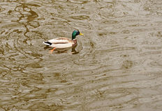 A wild duck Royalty Free Stock Images