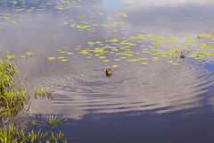 Wild duck swims, small pond royalty free stock photos