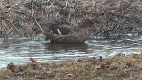 Wild Duck. stock video