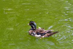 Wild Duck. Swims in the water Stock Image