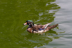 Wild Duck. Swims in the water Stock Images