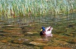 Wild duck on tarn Vrbicke pleso Stock Photography