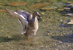 Wild duck on tarn Vrbicke pleso Stock Photos