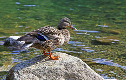 Wild duck on tarn Vrbicke pleso Stock Image