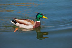 Wild duck. Royalty Free Stock Photography