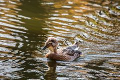 Wild duck with a tuft floating in the pond.  Stock Photo