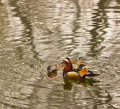Wild Duck. Two mandarin ducks were tumbling merrily about in the water Stock Images