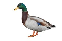 Wild duck Stock Image