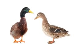 Wild duck. Two wild duck on a white background Royalty Free Stock Photography