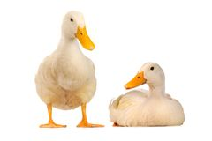 Wild duck. Two wild duck on a white background Stock Photo