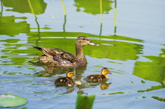 Wild duck and two young Stock Image