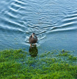 Wild duck in lake Royalty Free Stock Image