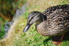 Wild duck walking on grass Stock Images