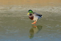 Wild Duck Walking on Ice. View of a Wild Duck or Malldard (Anas platyrhynchos) Walking on a Frozen River Royalty Free Stock Images