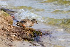 Wild duck walks from shore to river. Mage a wild duck walks from shore to river Royalty Free Stock Photos