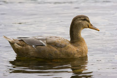 Wild Duck. In the water royalty free stock photos