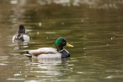 Wild duck on the water in bird sanctuary.  royalty free stock image