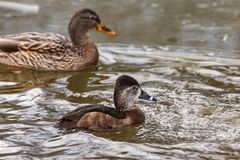 Wild duck on the water in bird sanctuary.  stock photos