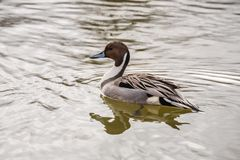 Wild duck on the water in bird sanctuary.  royalty free stock images