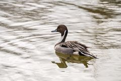 Wild duck on the water in bird sanctuary.  stock photography