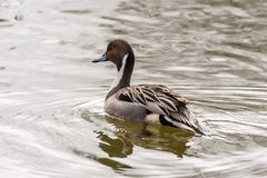Wild duck on the water in bird sanctuary.  royalty free stock photography