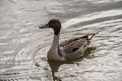 Wild duck on the water in bird sanctuary.  royalty free stock photo