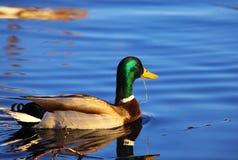 Wild duck in water Stock Image