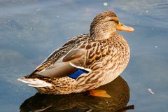 Wild duck in the water at the lake Stock Image