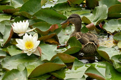 A wild duck among water lilies Royalty Free Stock Photo