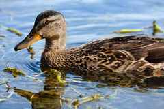 Wild duck on the water Stock Image