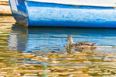 Wild duck on water. Next to a blue boat Royalty Free Stock Photography