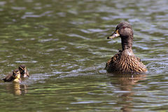 Wild duck on the water surface of the lake. Royalty Free Stock Photo