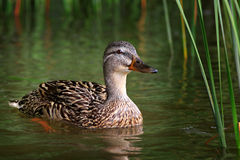 Wild duck on the water surface of the lake. Royalty Free Stock Images