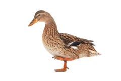 Wild duck. On a white background Stock Photos